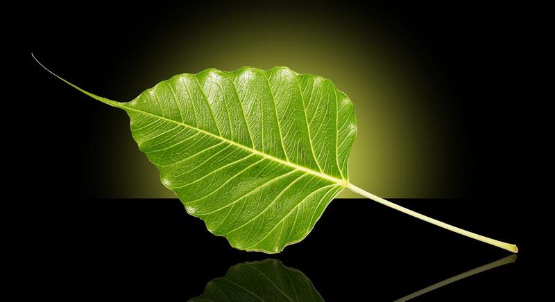 bodhi-leaf-1392651